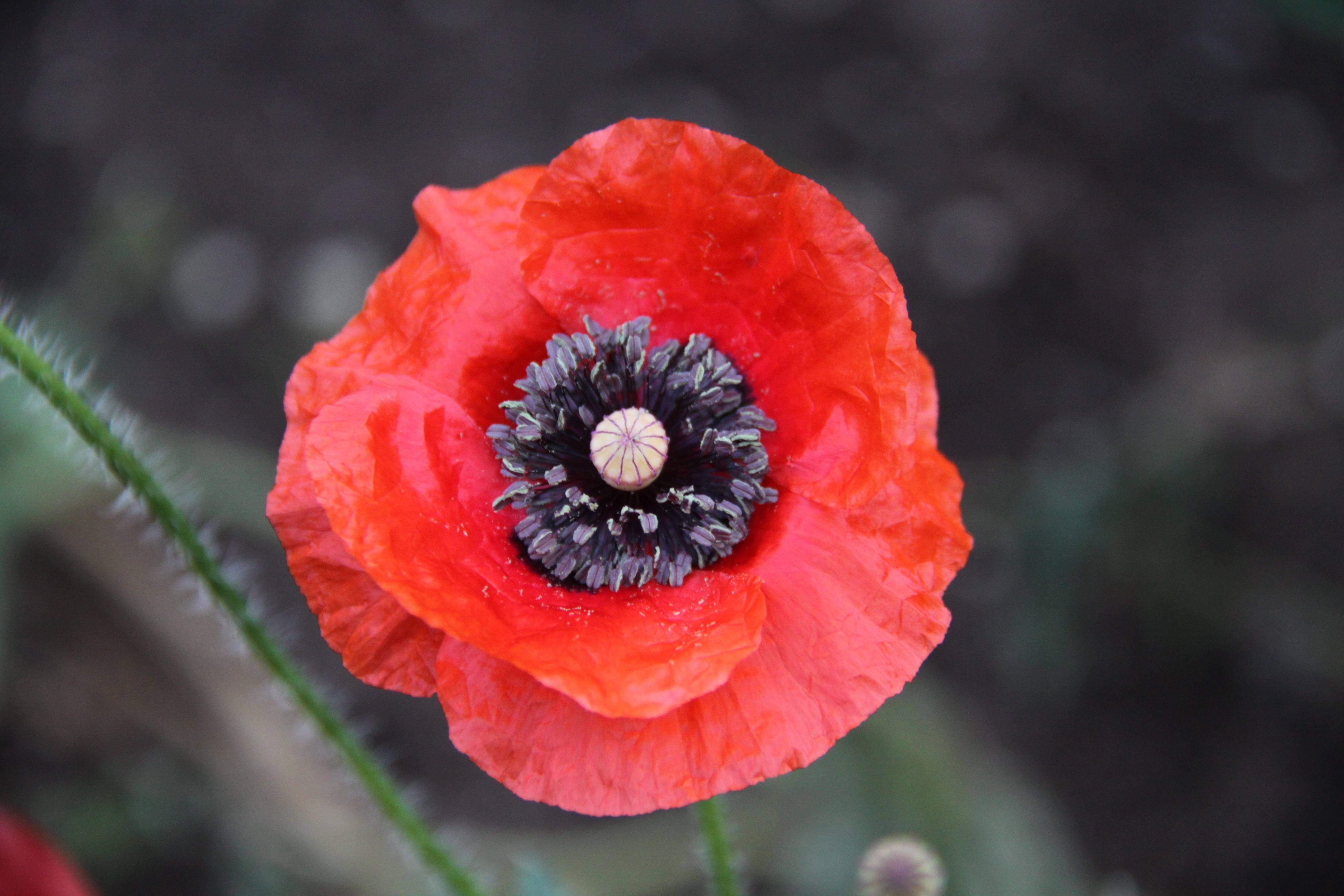 Red poppies and ethical storytelling